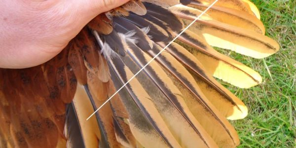Clipping Chicken Wings: Why, When & How...