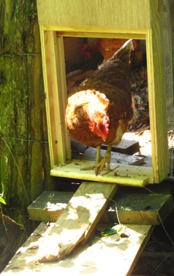 Check Out The Video Here & Automatic Chicken Coop Doors Pezcame.Com