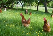 Free Ranging and Training Chickens...